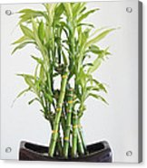 Lucky Bamboo Plant Acrylic Print