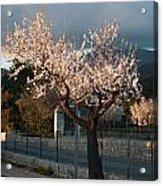 Luminous Almond Tree Acrylic Print