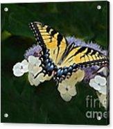 Luminous Butterfly On Lacecap Hydrangea Acrylic Print