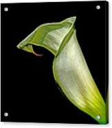 Luminous Lilly Acrylic Print