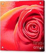 Luminous Red Rose 1 Acrylic Print