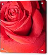 Luminous Red Rose 6 Acrylic Print