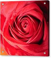 Luminous Red Rose 7 Acrylic Print