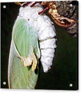 Luna Moth Actias Luna Newly Hatched Acrylic Print