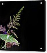 Luna Moth Astilby Black Background Acrylic Print