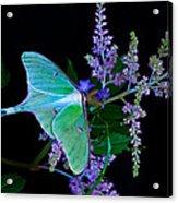 Luna Moth Astilby Flower Black Acrylic Print