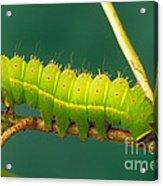 Luna Moth Caterpillar Acrylic Print