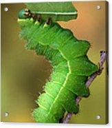 Luna Moth Caterpillar Eating Acrylic Print