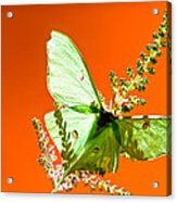 Luna Moth On Astilby Orange Back Ground Acrylic Print