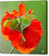Luna Moth On Poppy Square Format Acrylic Print