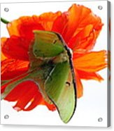 Luna Moth Poppy High Key Acrylic Print