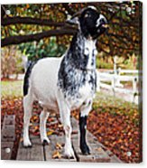 Lunch With Goat Acrylic Print