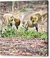 Lunchtime Explorations  Acrylic Print