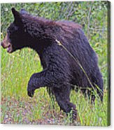 Lunging Black Bear Near Road In Grand Teton National Park-wyoming   Acrylic Print