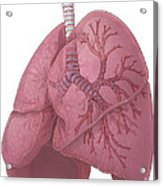 Lungs And Bronchi Acrylic Print