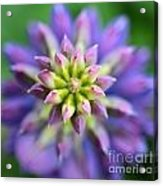 Lupine - Top Down Acrylic Print