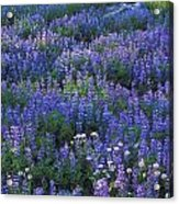 Lupine And Aster Acrylic Print