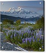 Lupine And Mount Elias Acrylic Print