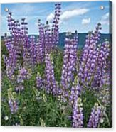 Lupine Blooms Of Bald Hills Acrylic Print