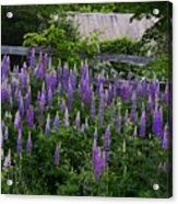 Lupine By The Fence Acrylic Print