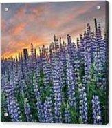 Lupine Dawn Acrylic Print