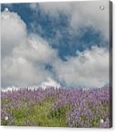 Lupine Field Under Clouds Acrylic Print