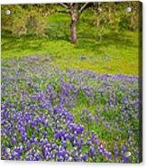 Lupine Oak Acrylic Print