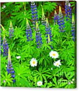 Lupines And Daisies 11 Acrylic Print