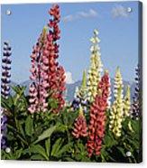 Lupinus Flowers Hokkaido Japan Acrylic Print