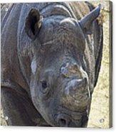 Lurching Rhino Acrylic Print