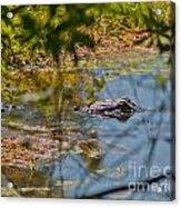 Lurking Gator Acrylic Print