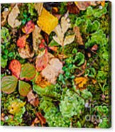 Luscious Lettuce Acrylic Print
