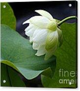 Luscious Lotus Acrylic Print