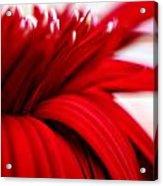 Luscious Red Flower Acrylic Print
