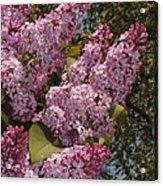 Lush Lilacs Acrylic Print