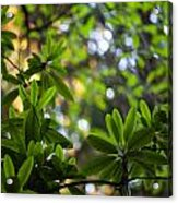 Lush Rhododendron Forest Acrylic Print