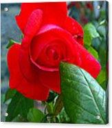 Luss Rose Acrylic Print