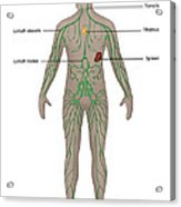 Lymphatic System In Male Anatomy Acrylic Print
