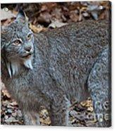 Lynx Eyes Acrylic Print