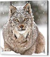 Lynx Stare Acrylic Print