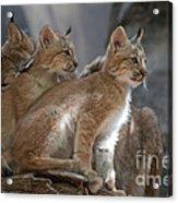 Lynx Trio Acrylic Print