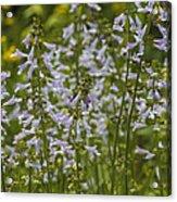 Lyreleaf Sage Wildflowers - Salvia Lyrata Acrylic Print