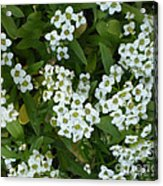 M White Flowers Collection No. W6 Acrylic Print