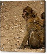Macaque Monkeys Acrylic Print