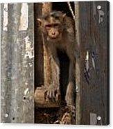 Macaque Peeking Out Acrylic Print