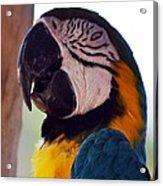 Macaw Head Study Acrylic Print