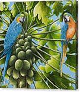 Macaw Parrots In Papaya Tree Acrylic Print