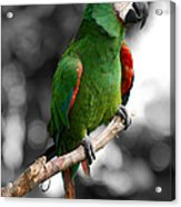 Macaw With Black And White Background Acrylic Print
