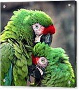 Macaws In Love Acrylic Print