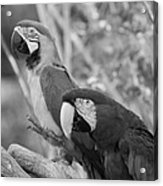 Macaws Of Color B W 14 Acrylic Print